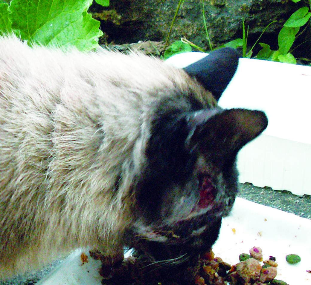 Abcès chronique de la face chez un chat mâle non castré infecté par le FIV